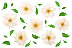 Free Rosehip Flower Isolated On White Background Close Up Stock Images - 118101614
