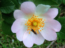 Rosehip flower pictures for herbal plants sites Stock Photos