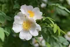 Rosehip flowers Royalty Free Stock Photo
