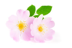 Rosehip flowers with leaf isolated on white background Stock Photos