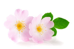 Rosehip flowers with leaf isolated on white background Royalty Free Stock Photo