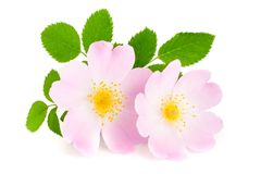 Rosehip flowers with leaf isolated on white background Stock Photo