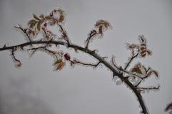 Rosehip, folhas e espinhos na névoa fotos de stock royalty free