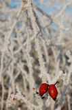Rosehip on a frozen branch. Rosehip on a branch covered with ice crystals in winter Stock Photography