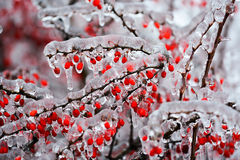Rosehip frozen on branch Royalty Free Stock Images