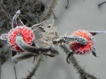 Rosehip fruit with frost crystals. The plant froze on a frosty day. Details and close-up. Rosehip fruit with frost crystals. The plant froze on a frosty day stock photos