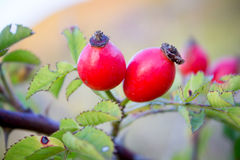 Rosehip fruit in nature Royalty Free Stock Photos