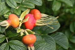 Rosehip - fruits Stock Images