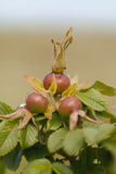 Rosehip - fruits Royalty Free Stock Photo