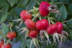 Rosehip Fruits Royalty Free Stock Photos