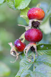 Rosehip - fruits - water drops Royalty Free Stock Photography