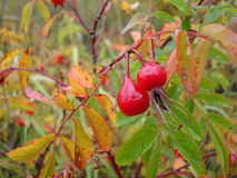 Rosehip Royalty Free Stock Image