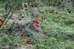 Rosehip gałązki z udziałami Rred owoc Obrazy Royalty Free