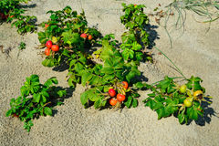 Rosehip grows on the sand Stock Images