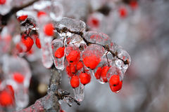Rosehip in ice Stock Image