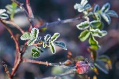 Rosehip jagody z hoarfrost A krzaka dzikim różanym dowcipem i liście obrazy royalty free