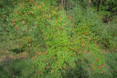 Rosehip krzak w naturze Zdjęcia Royalty Free