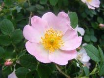 Rosehip kwiatu obrazki dla ziołowych rośliien miejsc Fotografia Royalty Free