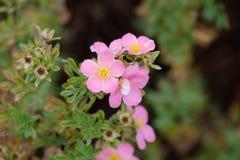 Rosehip kwiaty obrazy stock