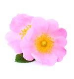 Rosehip kwiaty odizolowywający Menchia kwiaty Zdjęcia Stock