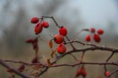 Rosehip Lat. Rosa is the genus of Rosaceae plants. Of the order Rosaceae. Zaporozhye region, Ukraine. December 2010 Stock Image