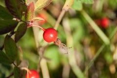 Rosehip maduro do fruto na luz do sol brilhante Imagem de Stock