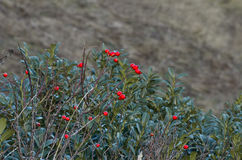 Rosehip mountain berries in a boxwood bush. In the mountains of the Caucasus, Russia, Adygea Royalty Free Stock Image