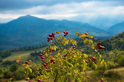 Rosehip plant with berries Royalty Free Stock Photography