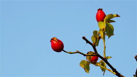 Rosehip red fruit stock video footage