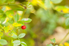 Rosehip Royalty Free Stock Photo