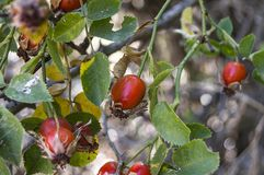 Rosehip and ripe fruits, pictures of rosehip plants c vitamin store rosehip fruit, organic rosehip tree.  royalty free stock photos
