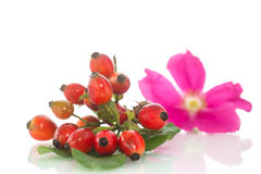 Rosehip Royalty Free Stock Images