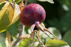 Rosehip - Rosa canina. Fruit on the bush Royalty Free Stock Images