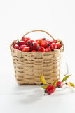 Rosehip (Rosa canina) Stock Photography