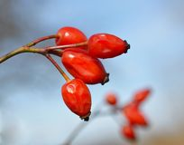 Rosehip (Rosa canina). In nature Royalty Free Stock Images