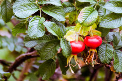 Rosehip. Rose hip in the garden so beatutiful Royalty Free Stock Images