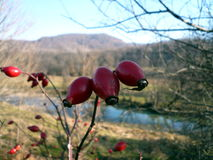Rosehip. S on the branch with river background Stock Image