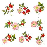 Rosehip set with flowers and berries for tea or medicine illustration. royalty free stock image