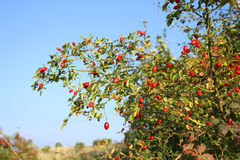 Rosehip shrub Royalty Free Stock Photos