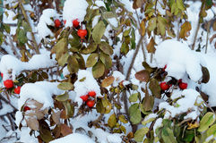 Rosehip in the snow Royalty Free Stock Photography