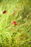 Rosehip in sunny weather Royalty Free Stock Images