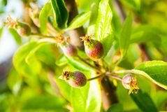 Rosehip tree with unripe rosehips. Rosehip tree with unripe red rosehip blossoms Royalty Free Stock Photography