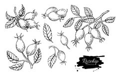 Rosehip vector drawing. Isolated berry branch sketch on white ba. Ckground. Summer fruit engraved style illustration. Detailed hand drawn vegetarian food. Great vector illustration