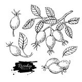 Rosehip vector drawing. Isolated berry branch sketch on white ba. Ckground. Summer fruit engraved style illustration. Detailed hand drawn vegetarian food. Great stock illustration