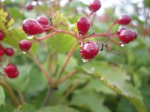 Rosehip with water drops, healthy organic herb, wild rose leafs. Stock Photos