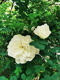 Rosehip white rose beautiful flower with green leaves summer vibe