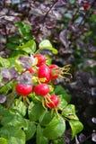 rosehips осени Стоковые Изображения