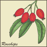Rosehips. Vintage background with Rosehips -  illustration Stock Photos