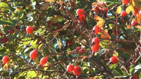 Rosehips. απόθεμα βίντεο