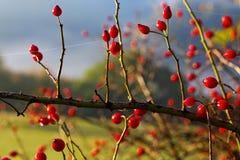 Rosehips Fotos de Stock